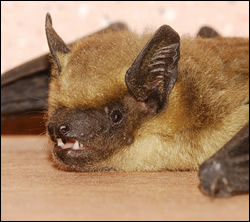 bat removal Texas