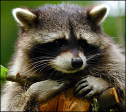 raccoon removal Texas