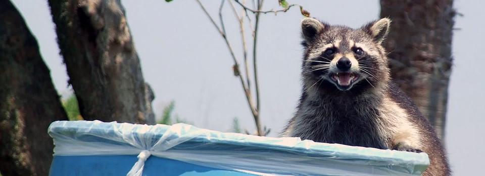 Texas Raccoon Control