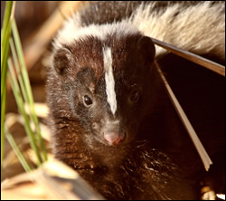 skunk removal Texas