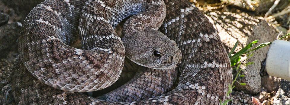 Texas Snake Control