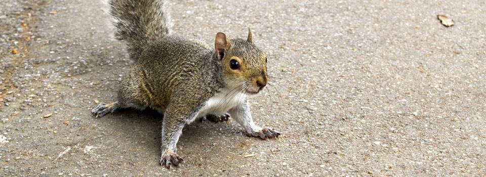 Texas Squirrel Control